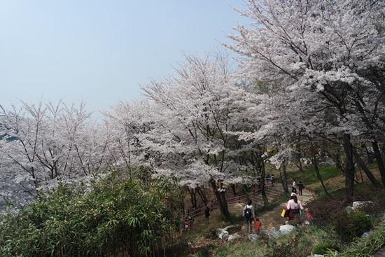 벚꽃이 만개한 경기도청 외곽 길